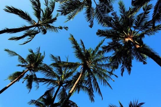 海外リゾートのヤシの木