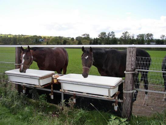牧場で水を飲む馬