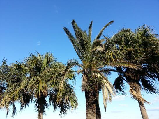 観音崎京急ホテルのヤシの木