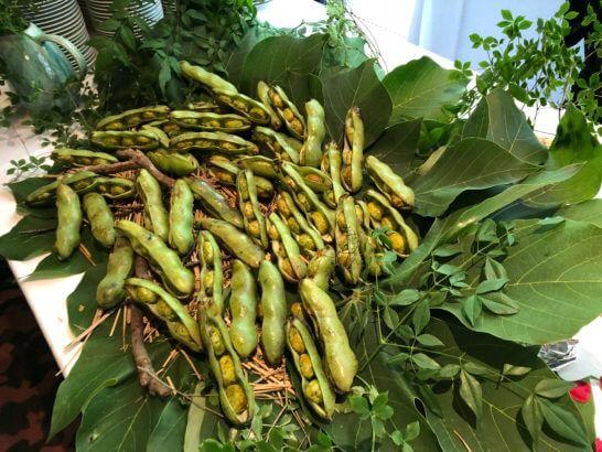 熟成コンテ・サリエット・エピス そら豆の収穫