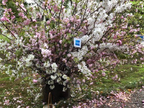 応挙館の桜