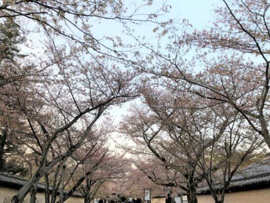 醍醐寺の桜通り