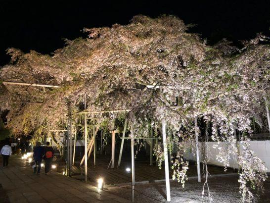 醍醐寺の春の桜(夜のライトアップ)