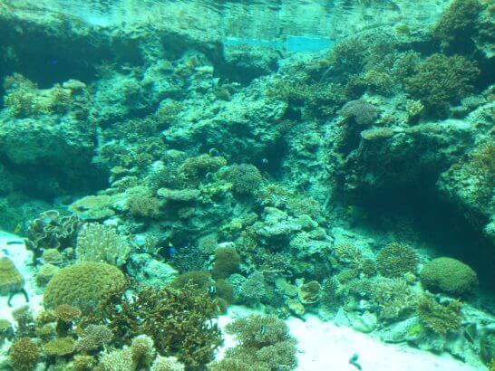 美ら海水族館のサンゴ