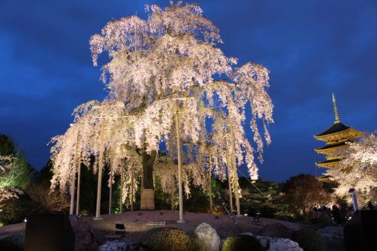 京都の世界文化遺産「東寺」の桜