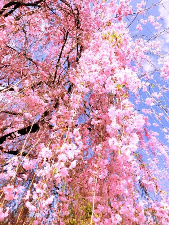 妙心寺 退蔵院のしだれ桜