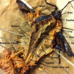 Grasshopper Dissection Diagram Labeled Drz400e Wiring Arthropoda - Biology 11 Honours Animalia Labs