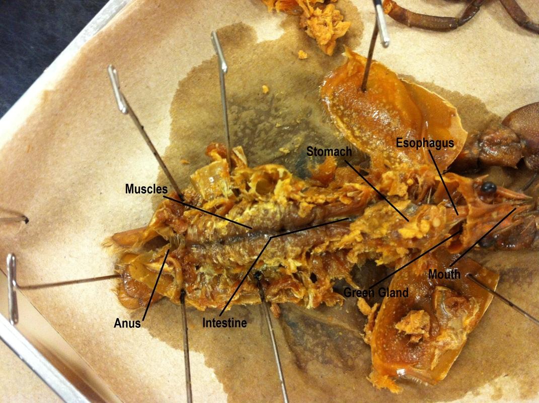 external grasshopper diagram 2002 toyota tacoma wiring arthropoda biology 11 honours animalia labs