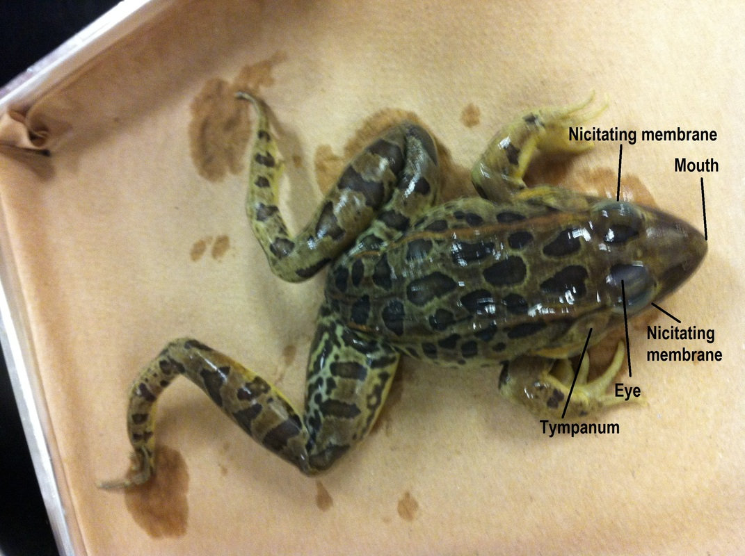 frog head diagram labeled payne heat pump wiring dissection biology 11 honours animalia labs