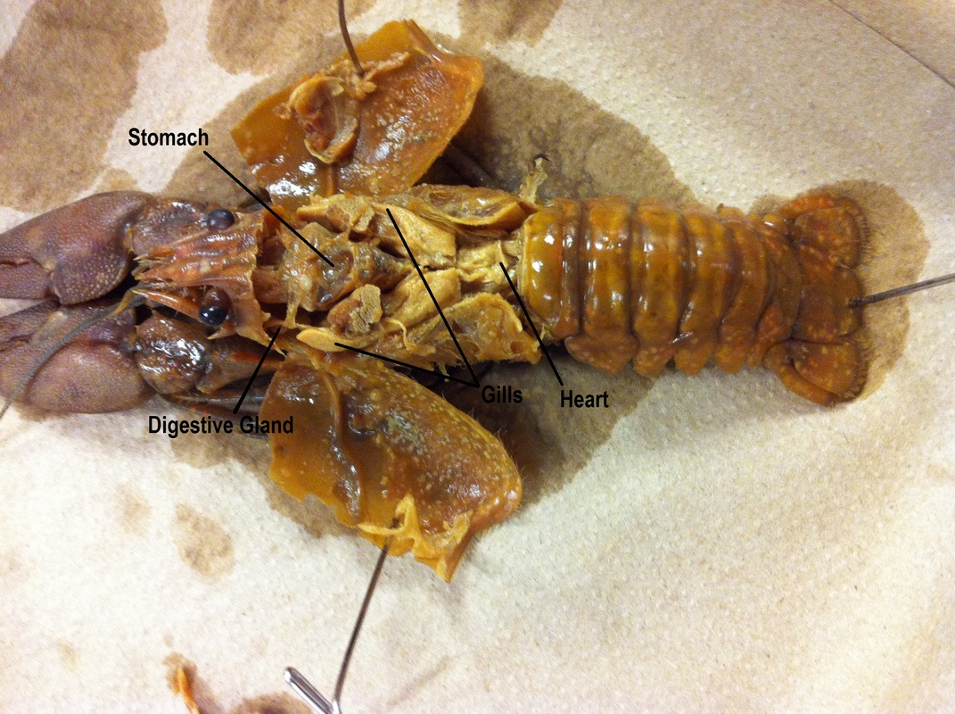 grasshopper dissection diagram labeled toyota land cruiser electrical wiring crayfish green gland