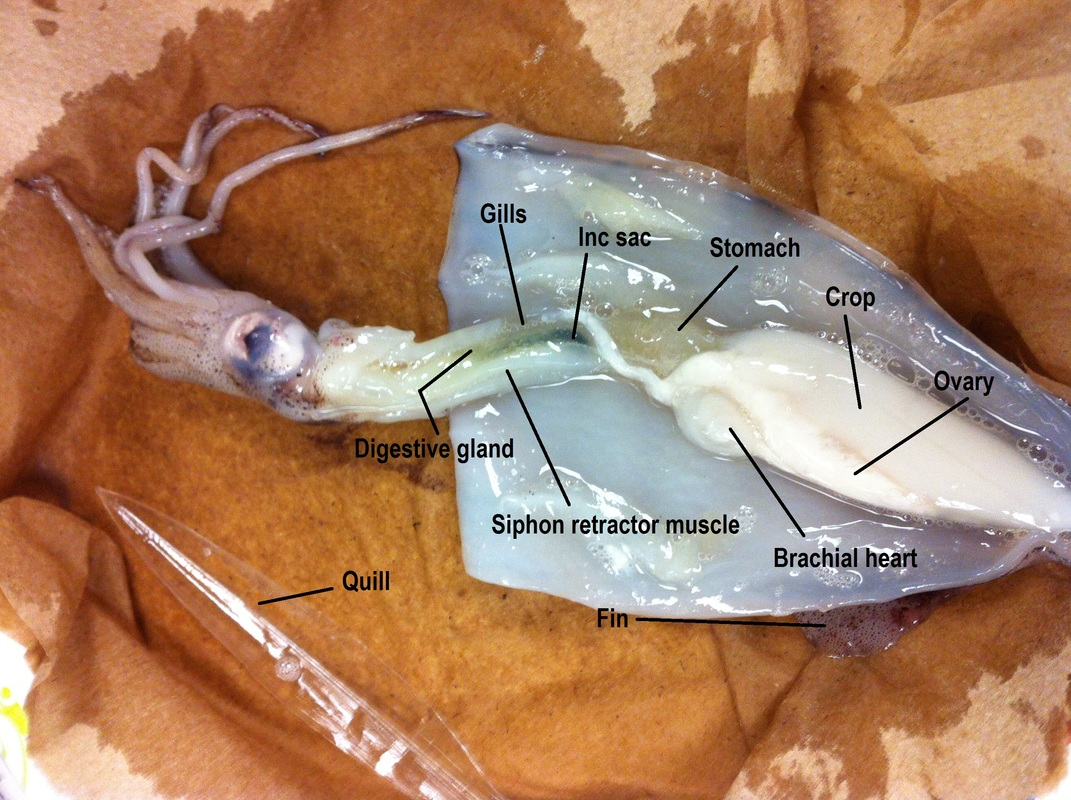 squid internal anatomy diagram battery wiring mollusca biology 11 honours animalia labs