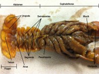 New Crayfish Dissection Worksheet