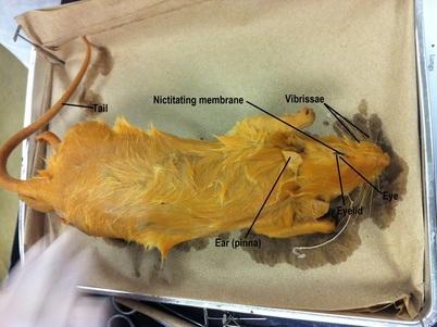 lip anatomy diagram kelp forest food web rat dissection - biology 11 honours animalia labs
