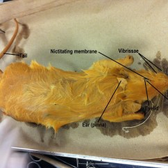 Rat Dissection Diagram Test Questions Basic Ignition Wiring Biology 11 Honours Animalia Labs