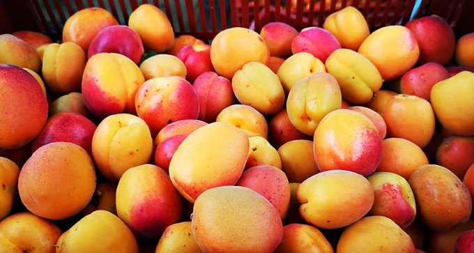 Freshly hand-picked apricots
