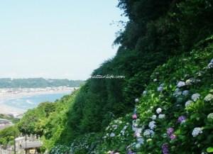 鎌倉紫陽花成就院