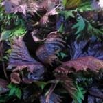 赤紫蘇の効能や栄養とは?梅干し作りのついでにジュースが美味しい