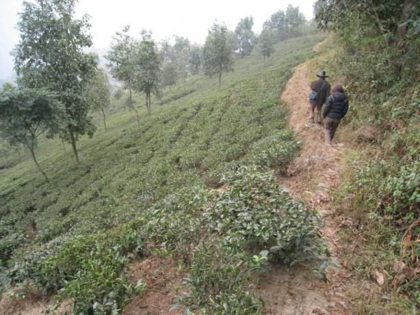 CTH Darjeeling Makaibari Estate