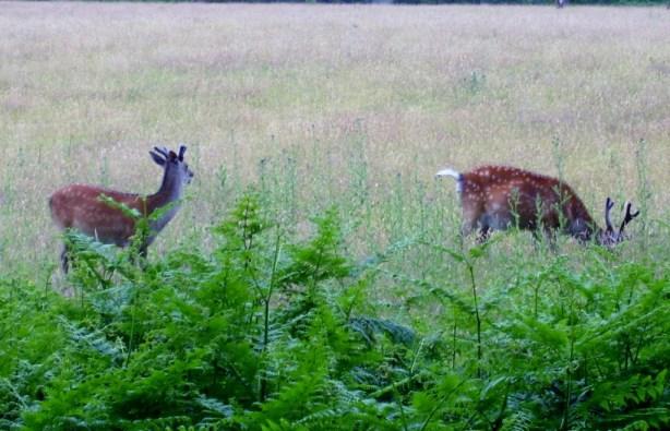 Sika Deer 1