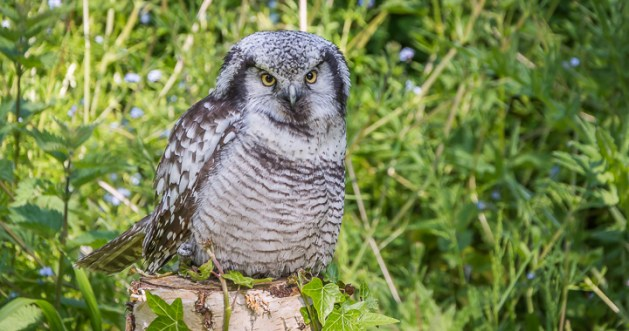 Female Northern Hawk Owl