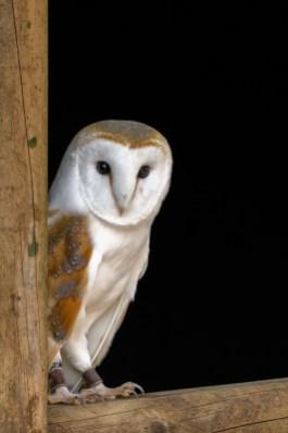 Male Barn Owl
