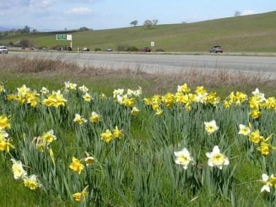 280 daffodils