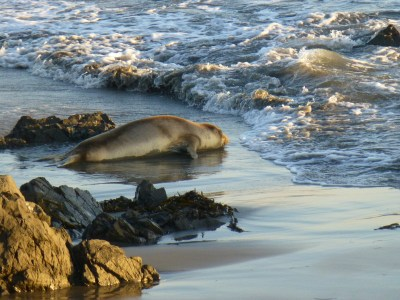 elephant seal north of San Simeon