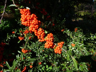 Pyracantha....or something like it