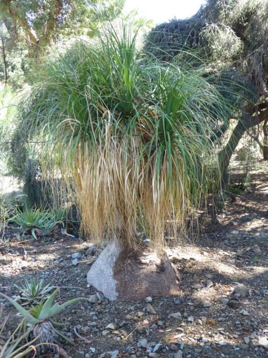 Beaucarnia recurvata