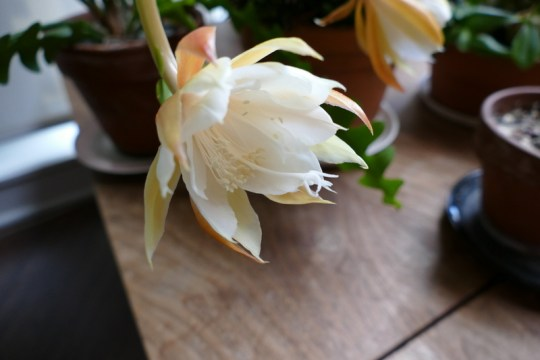 Epiphyllum whateverii