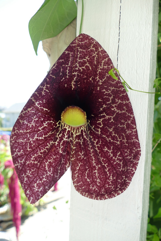 Dutchman's Pipe - Aristolochia durior