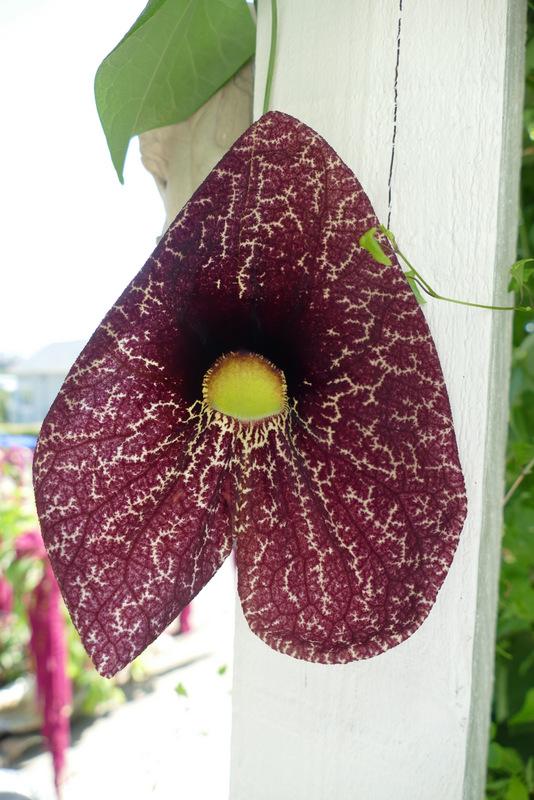 Dutchman's Pipe - Aristolochia durior