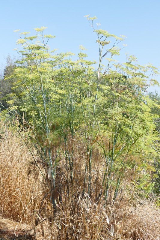 Petaluma River fennel
