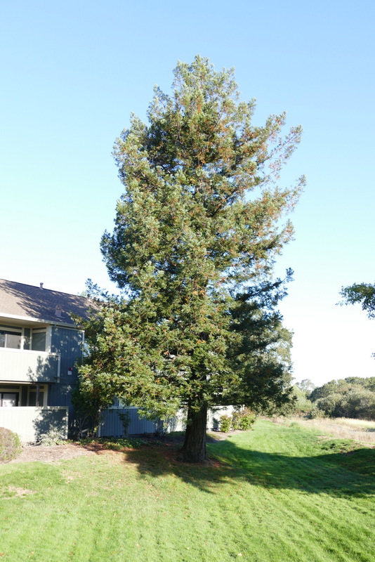 Sequoia sempervirens on the Petaluma River