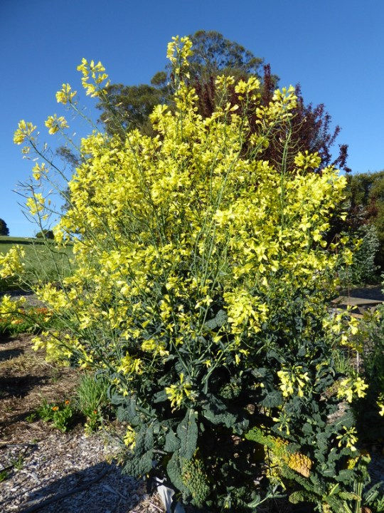 Blooming kale