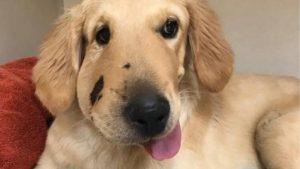 Foto del cane Todd con il muso gonfio
