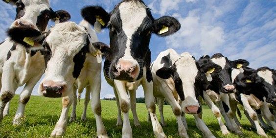 cows not having it