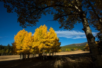 A group of Aspen trees are seen near Caribou Ranch along Peak to Peak Highway west of Longmont. Matthew Jonas / Staff Photographer Sept. 27, 2015