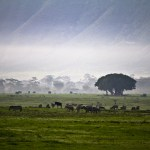 heards of zebra, wilderbeast and elephants graze in Ngorongoro crater