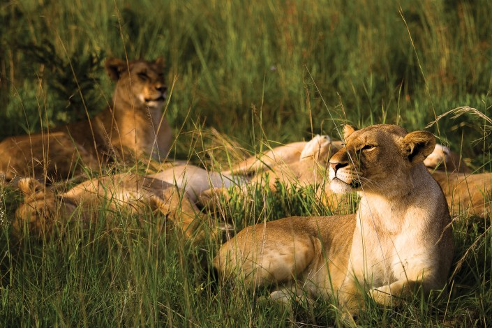 A pride of lions sit in the afternoon sun