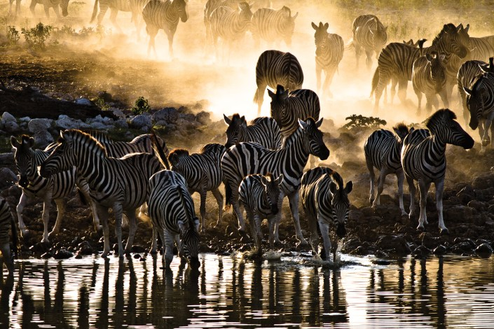 A herd of zebra drink at a dusty watering hole in namibia