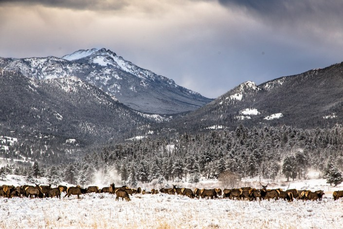 elk graze amongst the snow in the USA at sunset