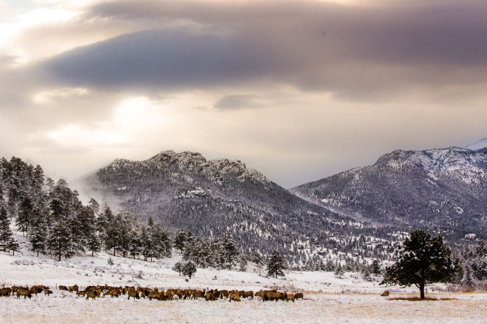 a heard of elk gather in fresh snowfall at sunset in the mountains