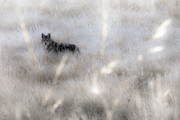 A coyote stands in thick grass hunting rodents
