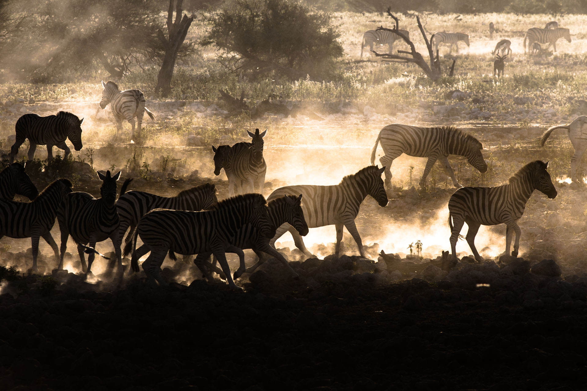 zebras silhouetted in dust storms