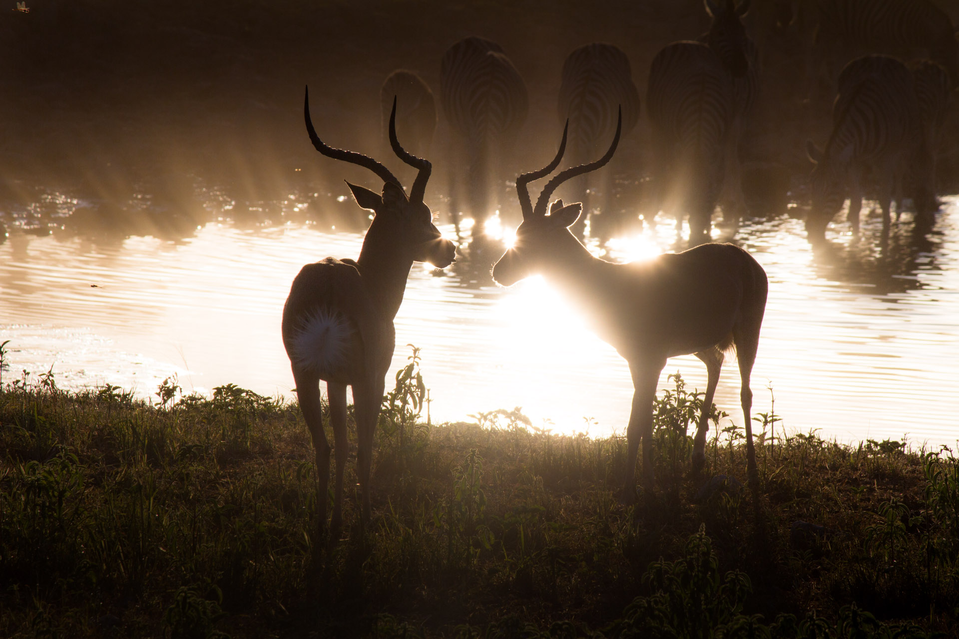 two antelope silhouetted at sunset
