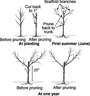 Prune and Spray Deciduous Fruit Trees
