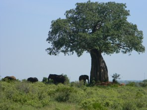 There's a reason the Baobab is one of Africa's iconic images -- in Tarangire giant trees are commonplace.