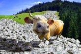 cow-money-6981309