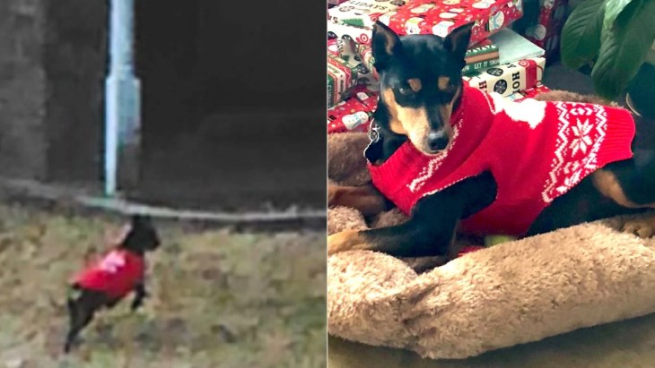 Miniature pinschers in red Christmas sweaters